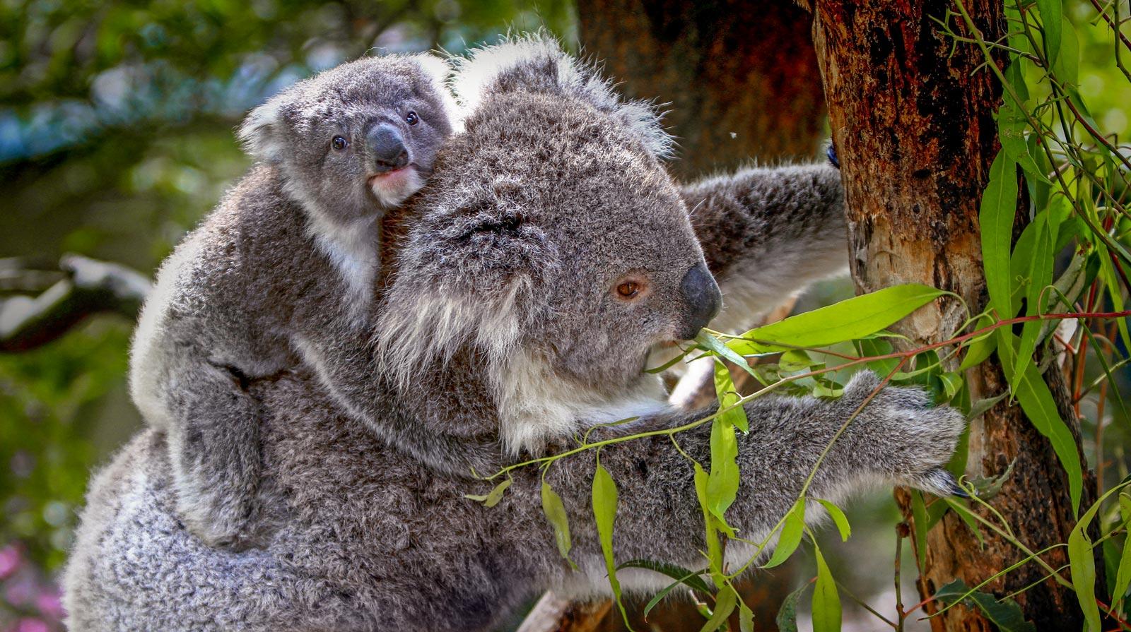 Was Essen Koalas Erfahren Sie Alles Uber Nahrung Und Lebensraum